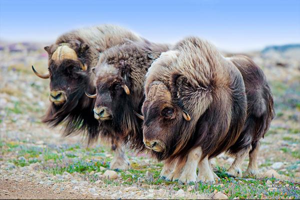 Wood Buffalo National Parks